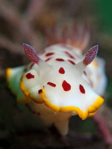 Chromodoris splendida, Nelson Bay by Doug Anderson 